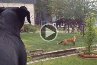 Para rir: cão tem seu brinquedo 'roubado' por raposa