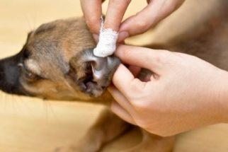 Saiba como ocorre o tratamento de abscessos em cães