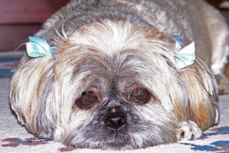 Saiba o que fazer na ocorrência de convulsões nos cães