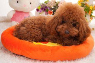 Saiba qual o melhor colchão e colchonete para seu cachorro