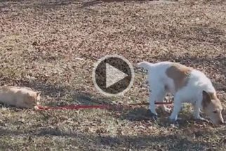 Vídeo: gato se 'recusa' a deixar cãozinho passear