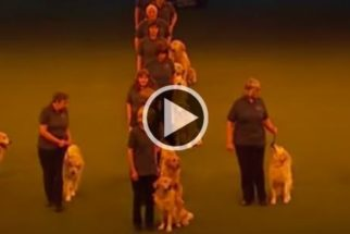 Vídeo: golden retrievers dão show de obediência em espetáculo
