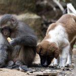 Amizade improvável: macaco vira melhor amigo de cãozinho