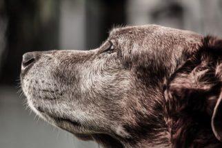 Aprenda a ajudar cão quando esse sofre com problemas da velhice
