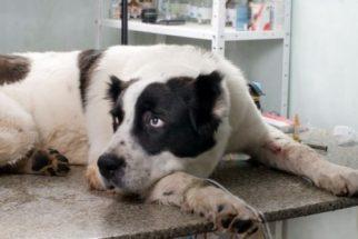 Atopia em cães: tratamento desta doença