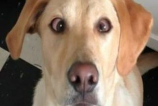 Cachorro vesgo pode ser sinal de estrabismo