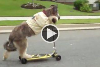 Cãozinho recordista mundial dá show andando de patinete