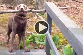 Cãozinho tenta atravessar ponte com galho gigante na boca