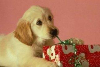 15 cãezinhos que não sabem lidar com decorações de Natal