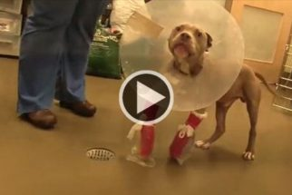 Pit Bull ganha segunda chance após cirurgia nas pernas