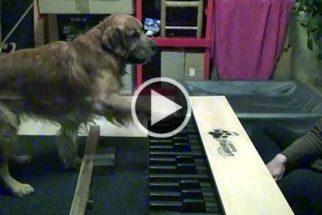 Fofura: vídeo mostra cães tocando piano junto à dona