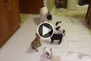 Fofura: papai buldogue ensina filhotes a brincar