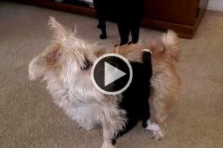 Para rir: gatinho tenta brincar de cavalinho com cachorro