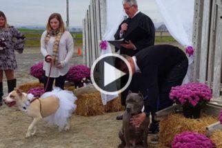 Pitbulls resgatados têm final feliz com direito a casamento