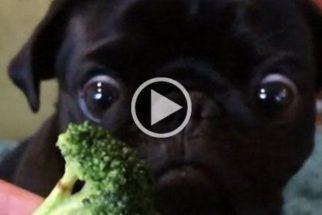 Pug vira sensação na web após vídeo comendo brócolis