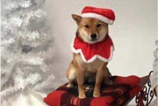 15 shibas que estão mais do que prontos para o Natal