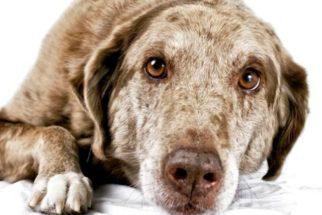 Veja dicas para melhorar a vida do seu cão idoso
