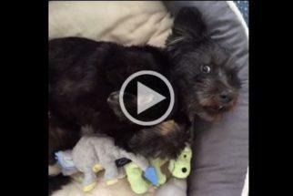 Emocionante a reação de cão tirado das ruas ao deitar em cama pela 1ª vez