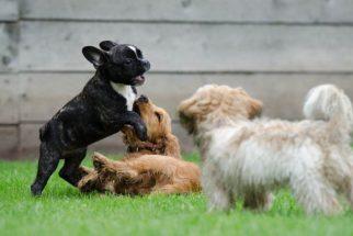 Acostume seu cachorro a um novo cão em casa