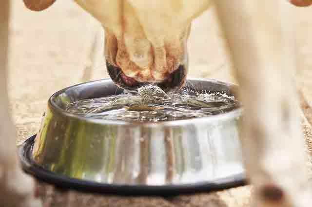 Existem dicas para estimular o cão a beber mais água durante o verão