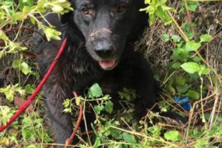 Cão perde pata em armadilha e sobrevive após dias perdido em mata