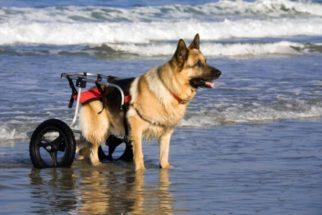 Carrinhos para cães deficientes têm ajudado na locomoção desses pets