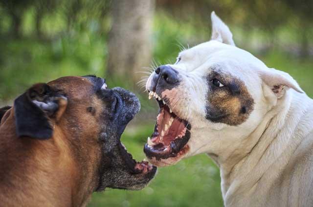 O tutor precisa se estabelecer como líder da matilha para evitar brigas constantes entre os pets