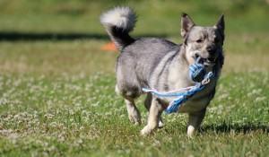 conheca-os-jogos-de-inteligencia-para-cachorros