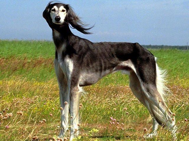 descubra-quais-sao-as-12-racas-de-cachorros-mais-exoticas-e-raras-12