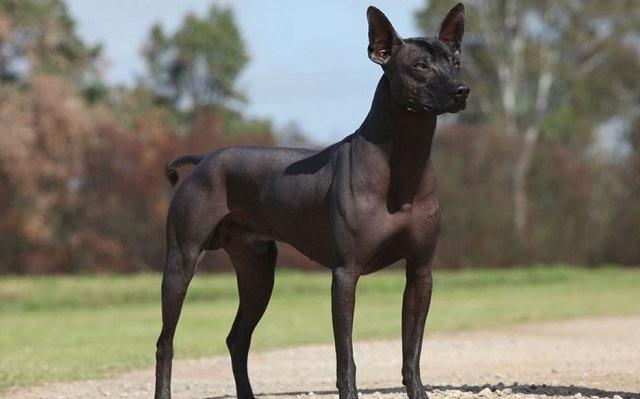 descubra-quais-sao-as-12-racas-de-cachorros-mais-exoticas-e-raras-5