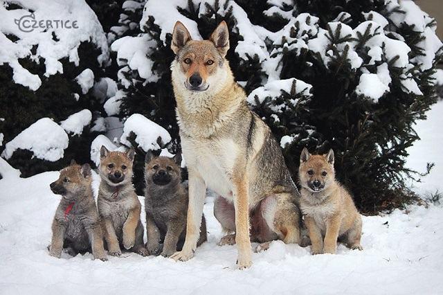 descubra-quais-sao-as-12-racas-de-cachorros-mais-exoticas-e-raras-6