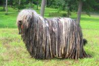 Descubra quais são as 12 raças de cachorros mais exóticas e raras