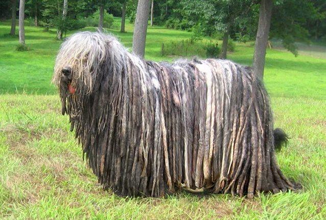 descubra-quais-sao-as-12-racas-de-cachorros-mais-exoticas-e-raras-7