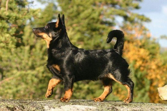 descubra-quais-sao-as-12-racas-de-cachorros-mais-exoticas-e-raras-9