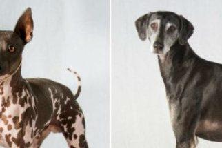 As 2 novas raças de cães: greyhound árabe e terrier americano sem pelo