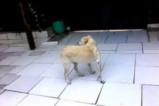 Entenda por que antes de deitar alguns cães andam diversas vezes em círculo
