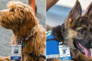 Dupla de cães é treinada para salvar vidas de maneira diferente