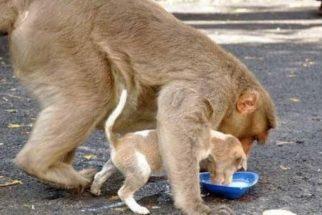 Cãozinho abandonado é adotado por macaco na Índia