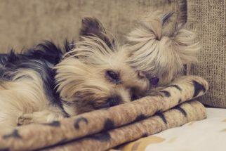 Insônia em cachorros: conheça as causas
