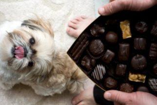 Principais motivos que explicam por que os cães não devem comer chocolate