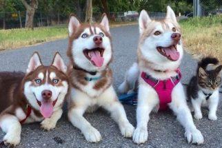 Resgatada por husky, gata agora faz parte da matilha de cães