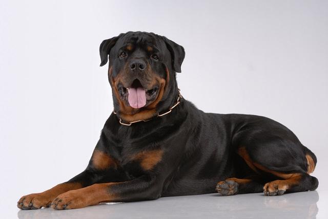 O rottweiler vive entre oito a 10 anos