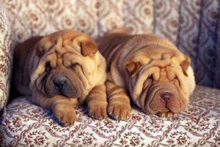 Conheça as raças de cachorros mais enrugadas