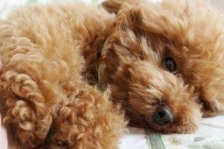 Conheça a incrível cadelinha poodle que é quase uma 'ginasta'