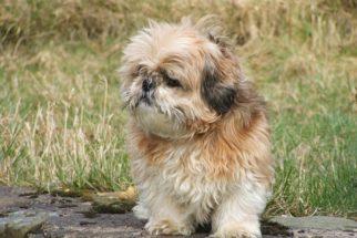 30 nomes ideais para batizar cães shih-tzu