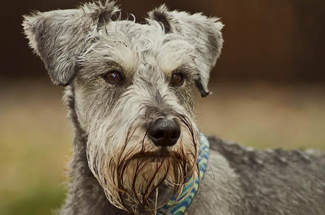 Um nariz frio, com consistência úmida e secreção transparente é o normal para um cão