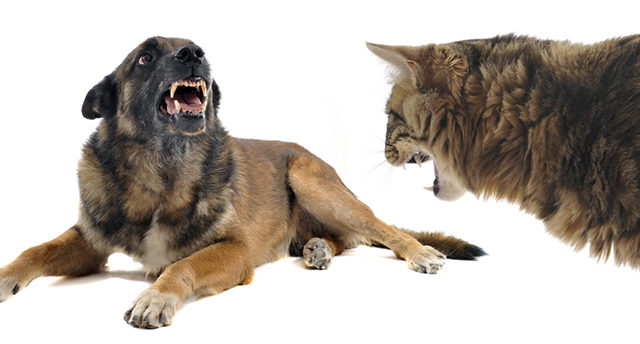 A disputa entre cães e gatos não é algo genético