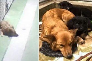 Cadela foge de abrigo para consolar filhotes que estavam chorando