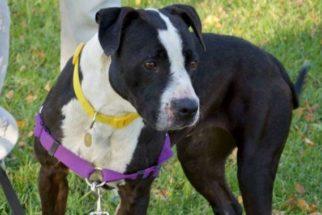 Cadela que esperava por cirurgia para retirada de nódulo é roubada