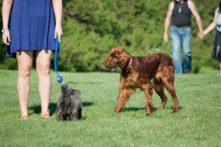 Cães enxergam a família como sua matilha?